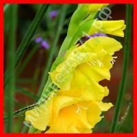 Кремовые, жёлтые гладиолусы