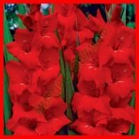 Красные, Черные гладиолусы
