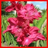 Малиново-розовые, малиновые гладиолусы