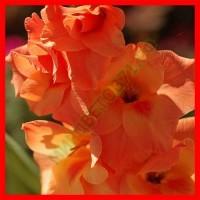 Палевые, Оранжевые гладиолусы