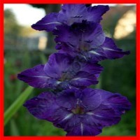 Голубые, Синие, Фиолетовые гладиолусы