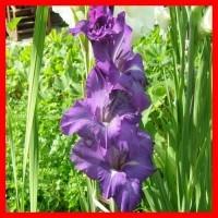 Сиреневые, Пурпурные