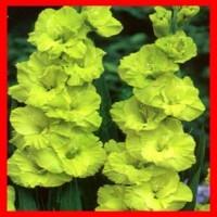 Зелёные гладиолусы